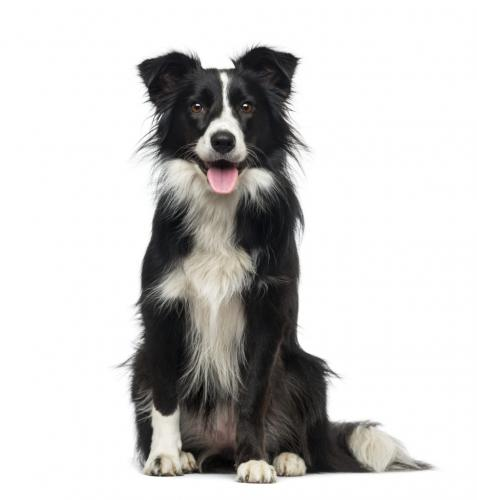 Border collie wanted Wanted in Ellesmere Port | Preloved