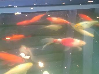 goldfish - Fish & Fish Tanks, Rehome Buy and Sell | Preloved