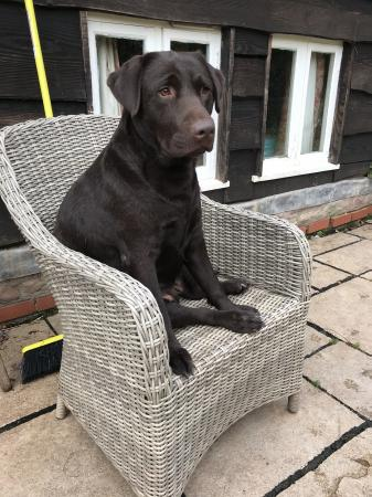 Image 3 of Stunning black and chocolate boy Labrador puppies