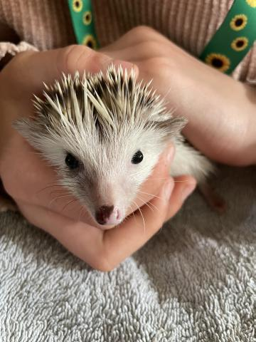Preview of the first image of African Pygmy hedgehog.