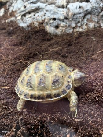 Image 9 of CB20 Horsefield Tortoises