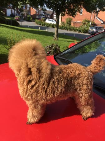 Image 3 of K.C Registered Red Toy poodle for stud