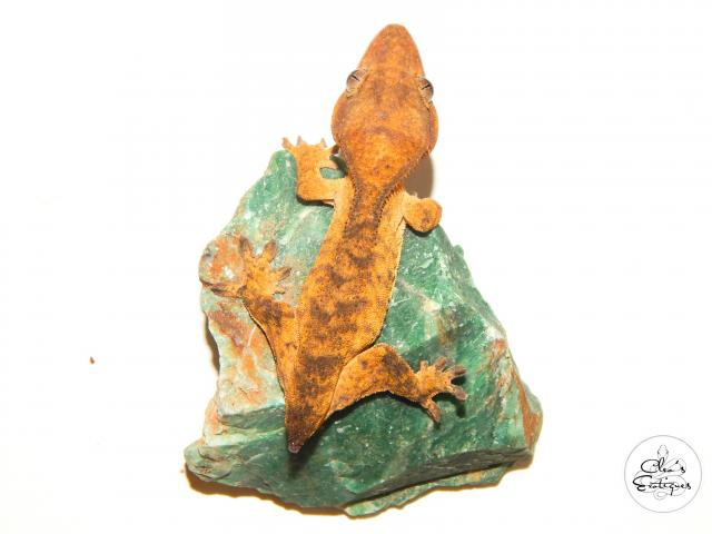 Preview of the first image of Female orange brindle Crested Gecko.