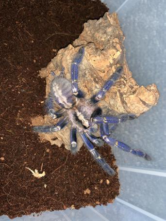 poecilotheria metallica tarantula - Reptiles, Rehome Buy and Sell