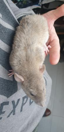 Image 19 of Tame Young/baby rats for sale (guaranteed tame)