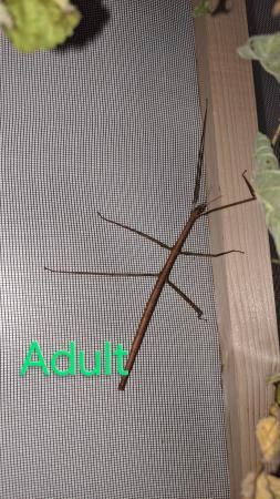 Image 1 of 10 Vietnamese stick insects/Ramulus Artemis nymphs LIVE FOOD