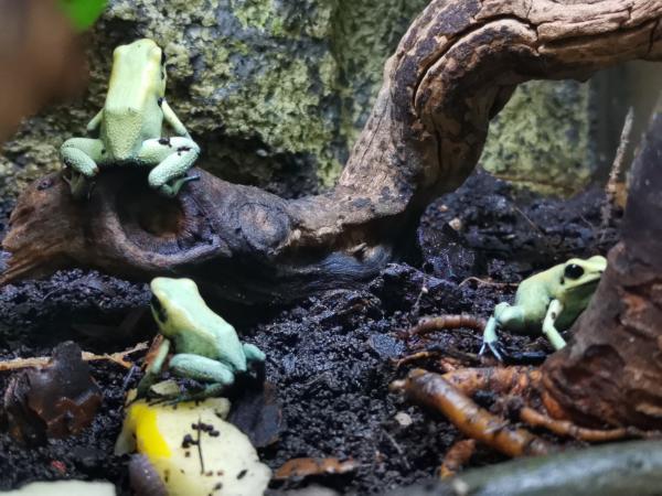 Image 6 of Golden Mint Phyllobates terribilis leucomelas Dart frogs