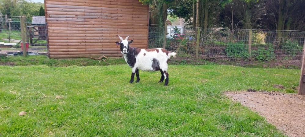 Image 4 of Pygmy Goat Nannie with kid