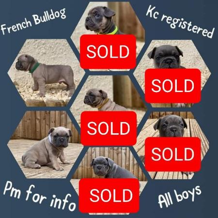 Image 1 of French bulldog puppies