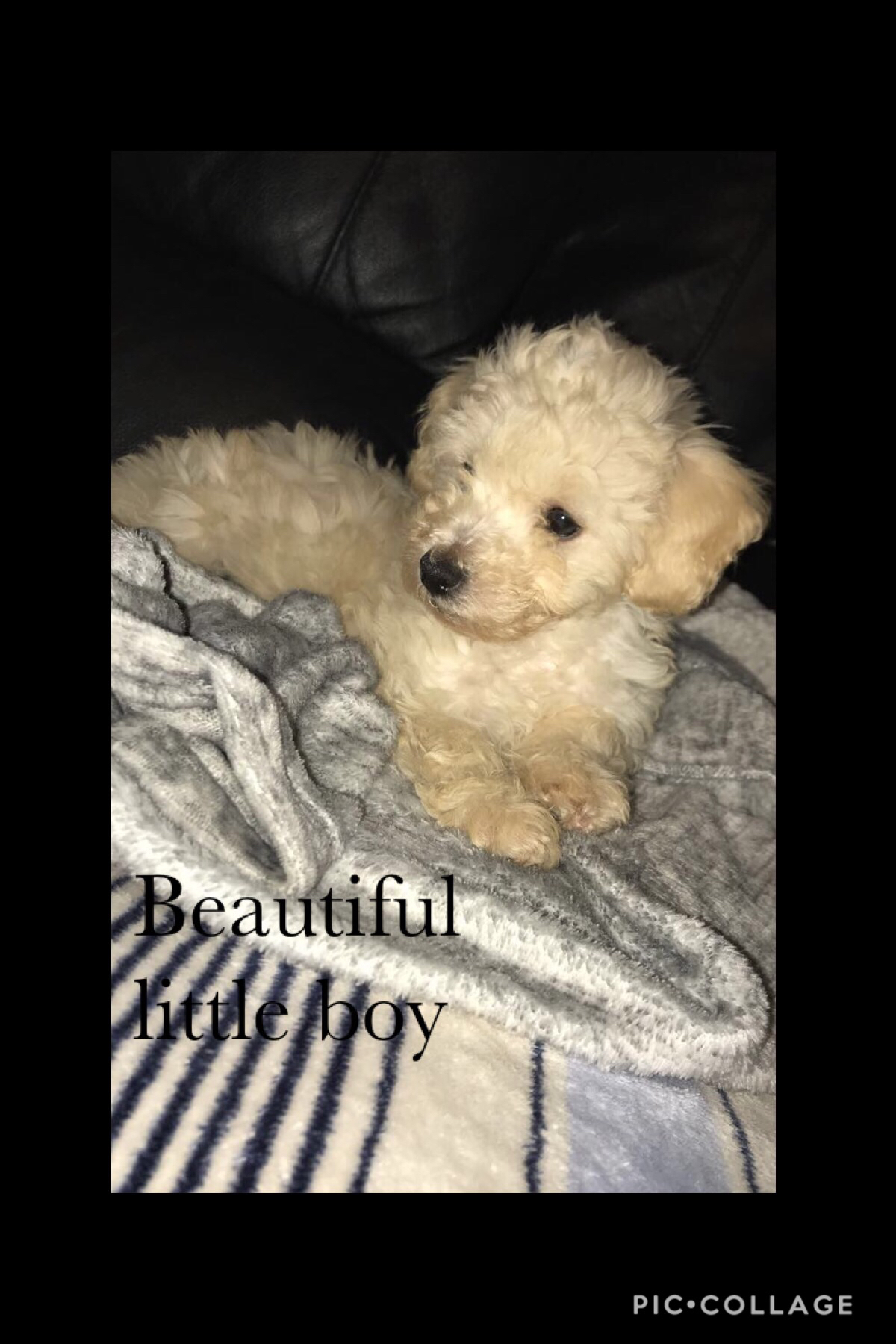 Cavapoo Puppies Dogs Puppies Rehome Buy And Sell In Ilford