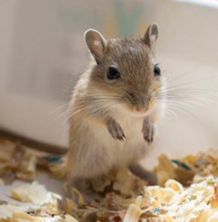 Image 1 of Wanted - Gerbil and/or Degu