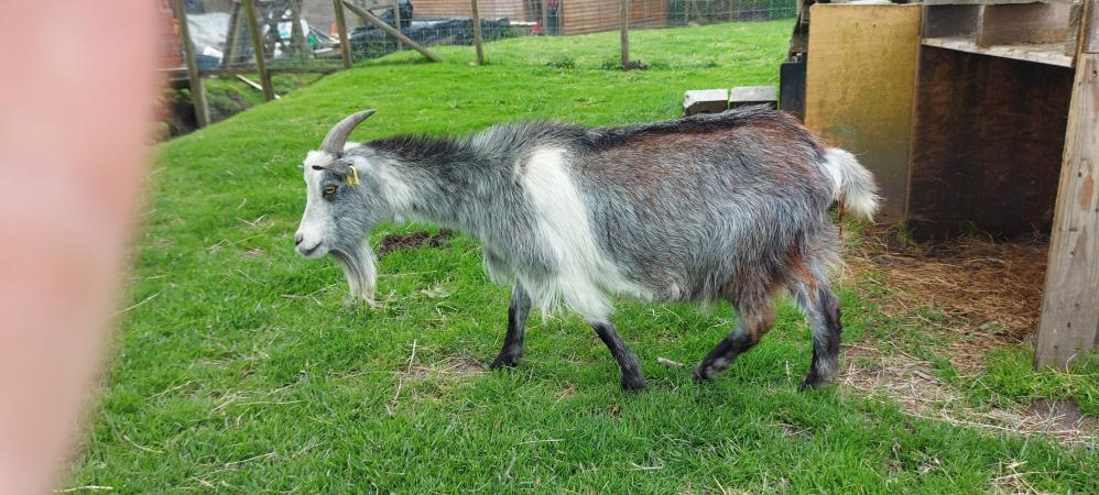 Image 6 of Pygmy Goat Nannie with kid