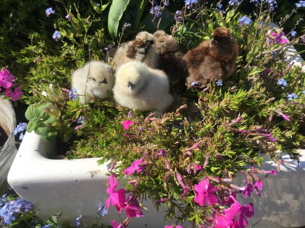 Image 2 of Chicks  / growers Silkie, Sizzle, Satin, Thuringian for Sale