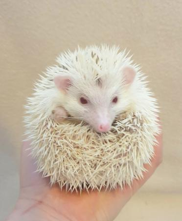 Image 4 of African Pygmy Hedgehog - Stunning Cinnamon Reverse Pinto