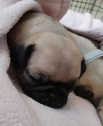 Pugs Dogs Puppies Rehome Buy And Sell In Nottingham Preloved