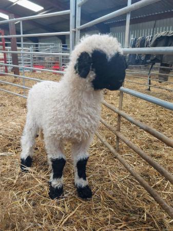 Image 2 of Selection of Quality Valais Blacknose Ewe Lambs
