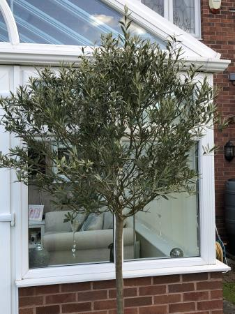 Image 2 of Large olive tree in a pot
