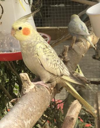 cockatiels - Birds, For Sale in Lincolnshire | Preloved