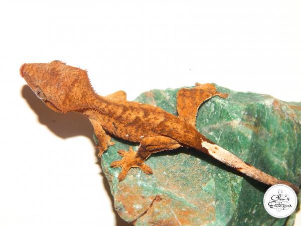 Image 1 of Unsexed orange brindle Crested Gecko