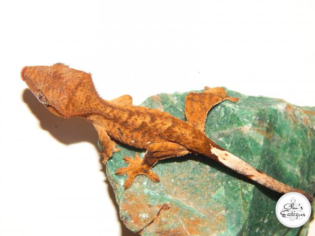 Preview of the first image of Unsexed orange brindle Crested Gecko.