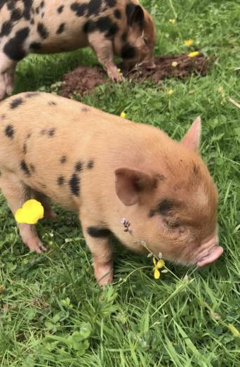 Classifieds Listings - Mini Pig Classifieds