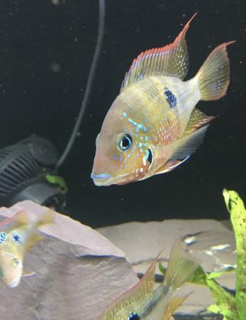 Image 3 of African Cichlid Frontosa Tropical Fish