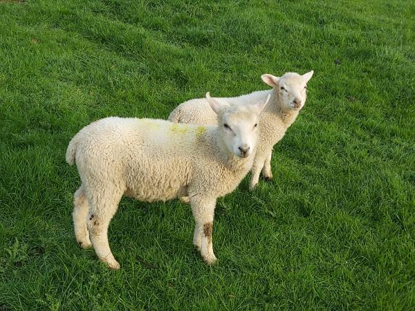 Image 3 of Weaned ram lambs 12 weeks aprox.