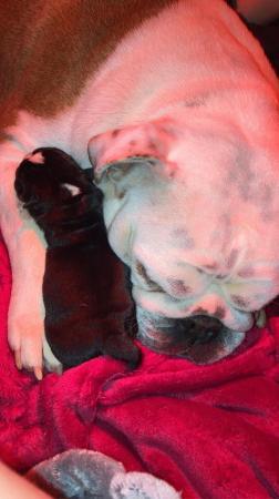 Image 11 of British bulldog puppies
