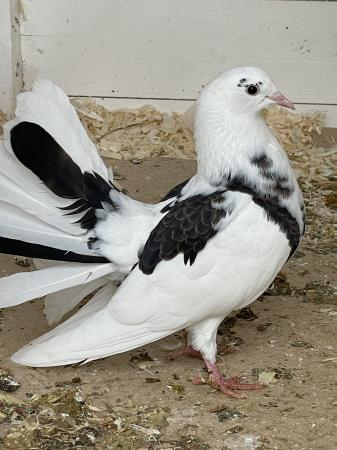 Image 1 of Pigeons for sale