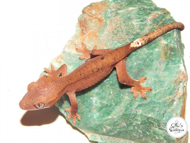 Preview of the first image of Unsexed red Dalmatian Crested Gecko.