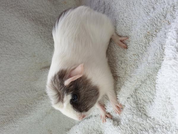 Image 4 of guinea Pigs