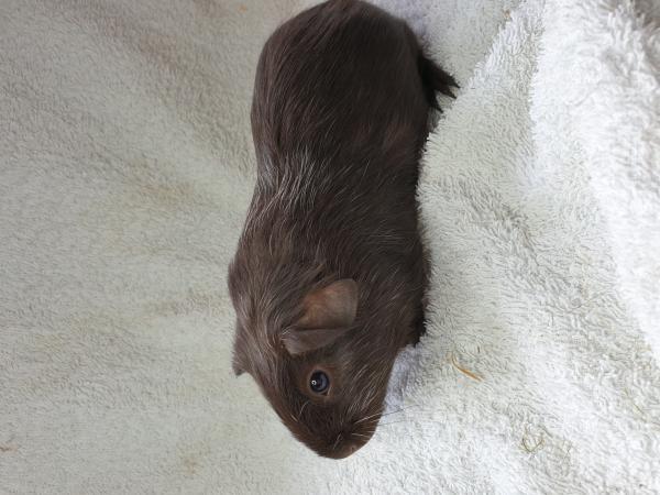 Image 6 of guinea Pigs
