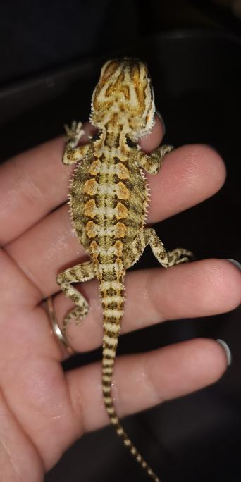 citrus bearded dragons - Local Classifieds, For Sale | Preloved