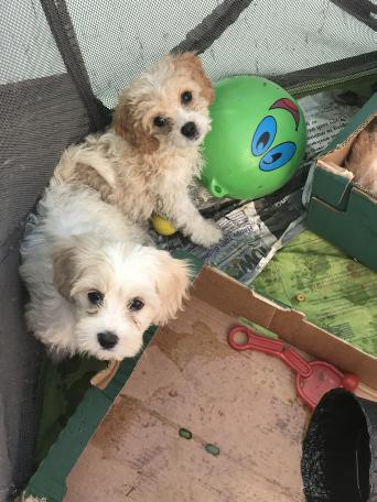 cavachon - Dogs & Puppies, Rehome Buy and Sell in Uxbridge | Preloved
