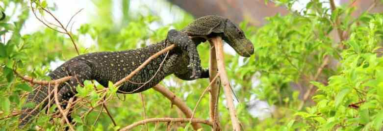 Image 10 of RESCUE/rehab/Rehoming - Monitor lizards
