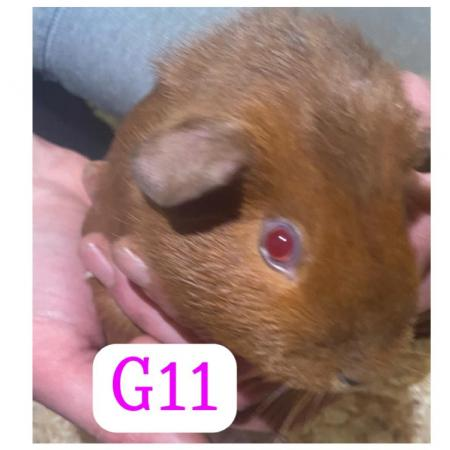 Image 4 of guinea pigs all sexes please see pics