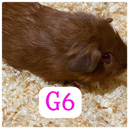 Image 7 of guinea pigs all sexes please see pics