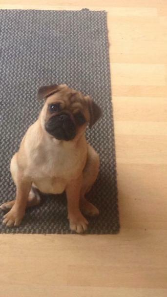 Adult Pug Dogs Puppies For Sale In Manchester Preloved