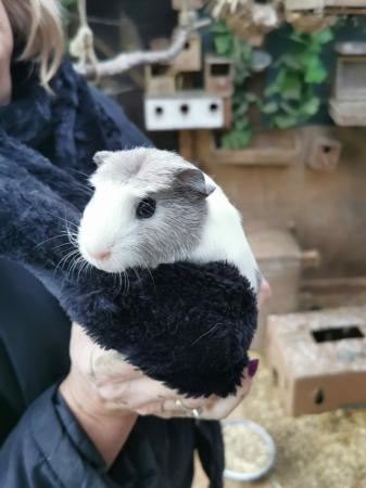 Image 1 of male guinea pigs