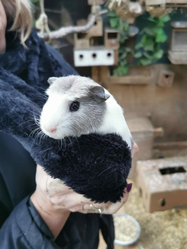 Preview of the first image of male guinea pigs.