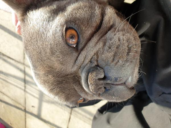"""Image 3 of Looking! For friend our french bulldog """"male"""" 2."""