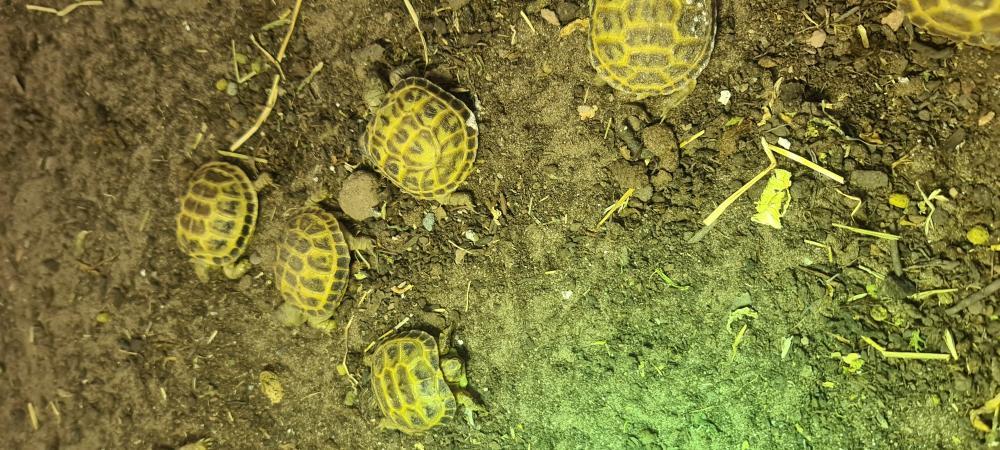 Image 1 of horsefield tortoises ??