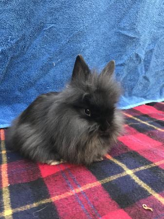Image 1 of Single mane lionhead rabbit