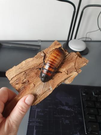Image 2 of Madagascar Hissing Cockroaches and tank