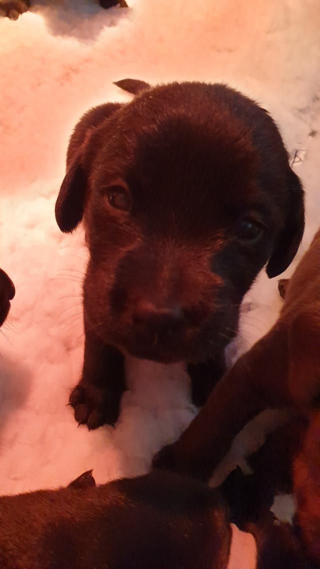 Preview of the first image of Labradoodle x Labrador Puppies for sale..